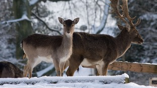 Deer in the snow at Whitworth Hall Country Park, County Durham.