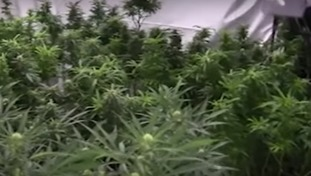 4,049 cannabis plants were found in the old mill