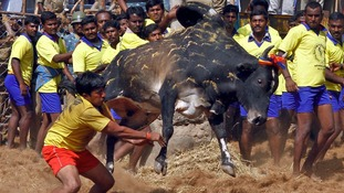 A man tries to control a bull on the outskirts of Madurai town, some 310 miles from the southern Indian city of Chennai