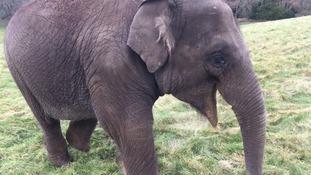 Woburn Safari Park elephant calf beats deadly virus