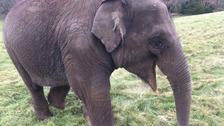 Woburn elephant calf Tarli beats deadly virus