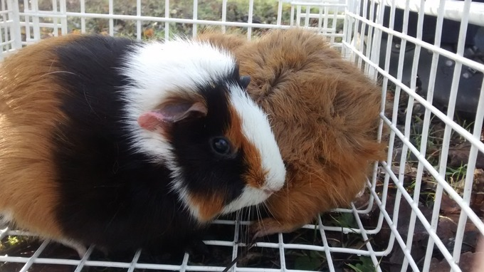 Baby guinea pigs abandoned at roadside calendar itv news the guinea pigs were found in a layby publicscrutiny Image collections