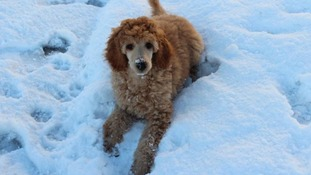 A poodle puppy plays in the snow for the first time.