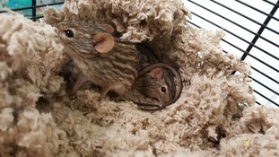 Zebra mice Bashful, Grumpy and Sleepy need new homes