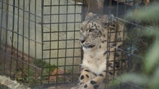 Zoo's project to build a new home for its snow leopards
