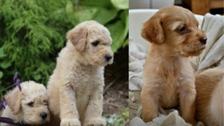 Labradoodle puppies stolen in armed raid in Doncaster