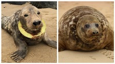 Seal with frisbee embedded in her neck returned to wild
