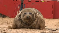 The seal nearly killed by a frisbee survives to swim another day