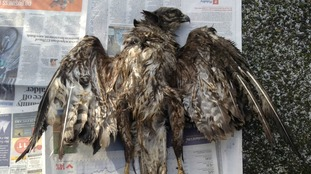 Buzzard illegally shot and killed prompts police investigation