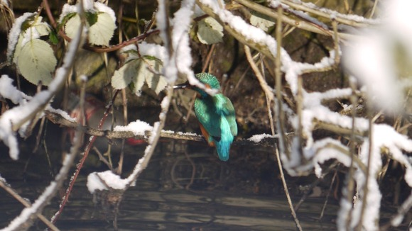 A kingfisher on a Norwich river