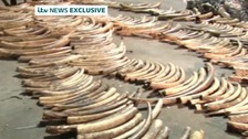 As many as 300 elephants would have died to produce the amount seized by authorities in Kenya.