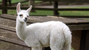 Baby llama and infant elephant among diplomatic Jubilee gifts to Queen in 2012