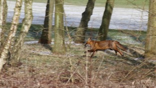 Perhaps he's cold? Paul Wilde captured this fox in Redditch.