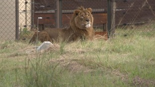 Warzone lions rescued and rehoused in new home
