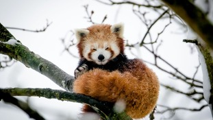 Doodoo the Red Panda