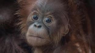 Rare baby Sumatran orangutan born at Chester Zoo