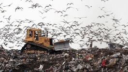 Birds at landfill site looking for food