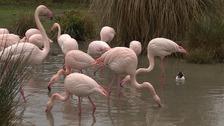 Flamingos at Pensthorpe Natural Park.
