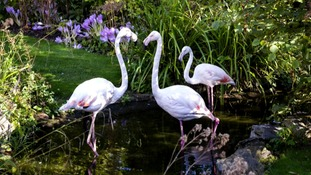 Flamingos at the Kensington Roof Gardens