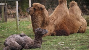 Baby camel is latest arrival at Yorkshire wildlife park