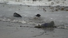 Trio of rescued seals released back into the wild