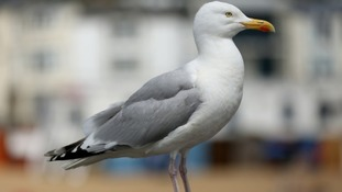 Dumfries gull battle: Figures revealed