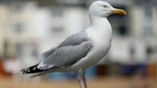 Dumfries gull battle: Figures revealed
