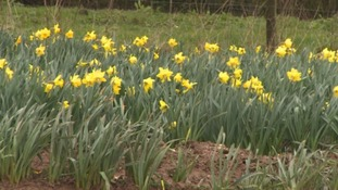 Daffodils must be kept clean in order to thrive.