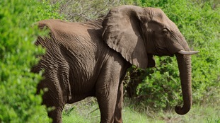As many as 20,000 elephants are poached each year in Africa for their ivory tusks.