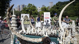 illegal ivory trinkets, tusks and creations are on display before being destroyed as an ode to end the illegal trafficking and brutal mistreatment of elephants in Central Park on August 3, 2017 in New York City.