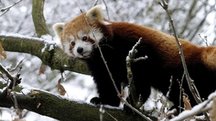 The red panda braves the current cold snap.