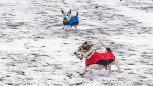 two dogs in red and blue jackets running in snow with balls in mouths