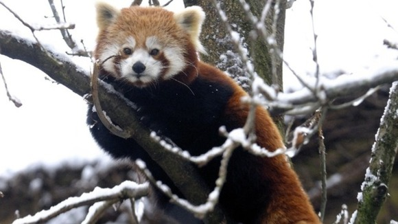 A red panda at Bristol Zoo clutches the branch of a snow covered tree today.