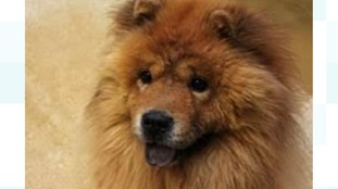Chopin the Chow Chow.
