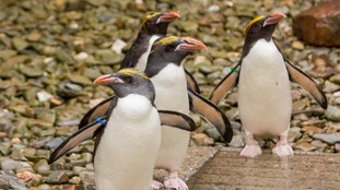 Meet the Mafia! Four vulnerable penguins become latest residents at zoo