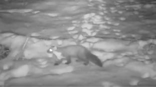 First footage of a pine marten in Northumberland