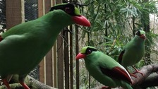 Rare Javan Green Magpies