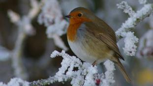 Robin in the snow in Stapleton