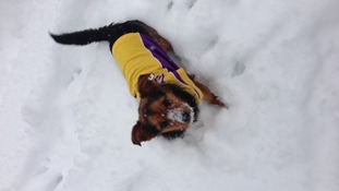 Bertie the Chorkie enjoying the snow in his LA Lakers shirt.
