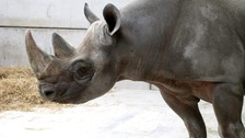 Jasper is one of two black rhinos that have arrived in South Yorkshire.