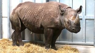Makibo is one of two black rhinos that have arrived in South Yorkshire.