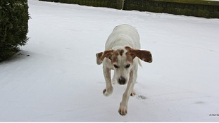 Berta playing in the snow in Measham, Leicestershire
