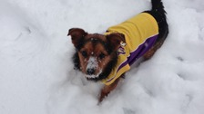 Basketball fan Bertie the Chorkie from Halesowen enjoying the snow in his LA Lakers shirt