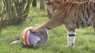 One of the Tigers at Whipsnade Zoo.
