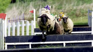 Easter sheep race held for 30 years scrapped after threats from animal rights group