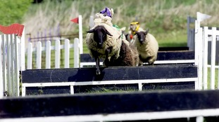The Sheep Gold Cup and the Sheep Grand National will now be replaced with a child's race this coming Bank Holiday Monday.