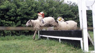 Hoo Farm called off the sheep race after staff received threats to their safety.