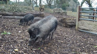Jersey Zoo welcome three little pigs