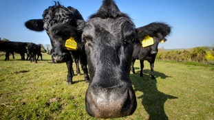 This working farm in Hampshire exports its Aberdeen Angus beef to 56 countries, including many in the EU.