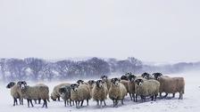 Sheep in Snow near Otley